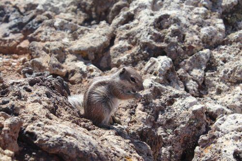 rock squirrel wildlife