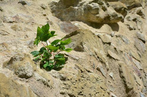 rock wall plant