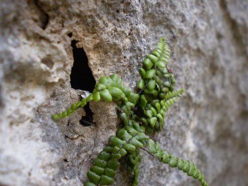 rock plant green