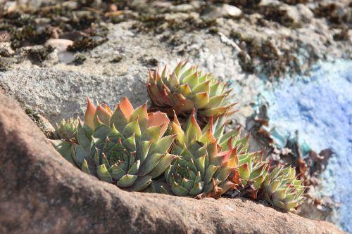 stone plants houseleek plant