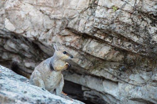 rock-wallaby  black footed rock wallaby  wallaby