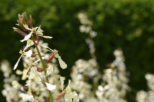 rocket rucola bloom arugula