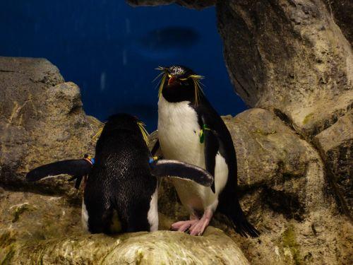 rockhopper penguin penguin eudyptes chrysocome