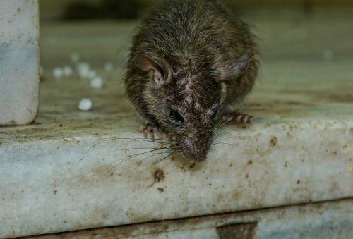 rodent mammal animal