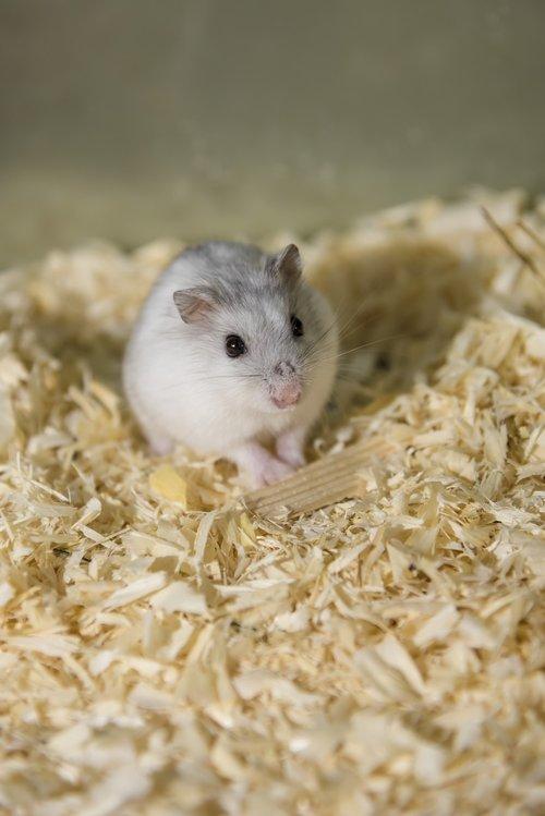 rodent  hamster  dwarf hamster