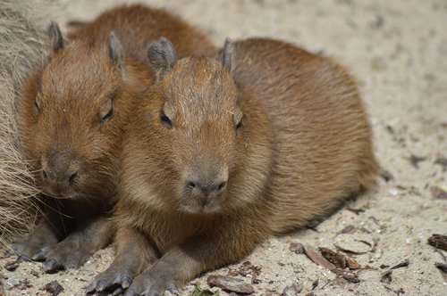 rodents  babies  capybara