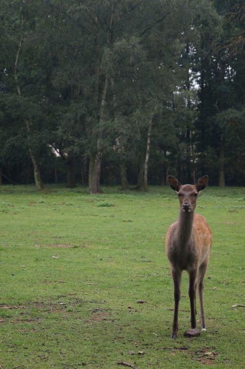 roe deer fallow deer red deer