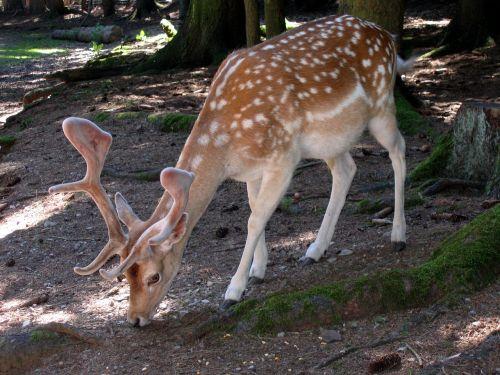 roe deer scheu forest