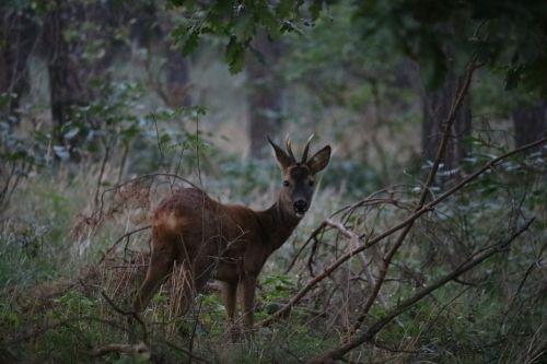 roe deer forest animal