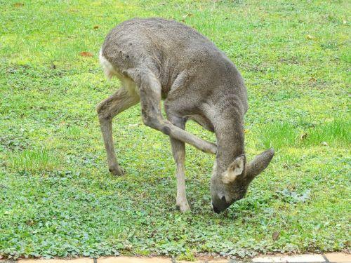 roe deer garden scratch