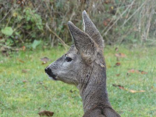 roe deer head garden