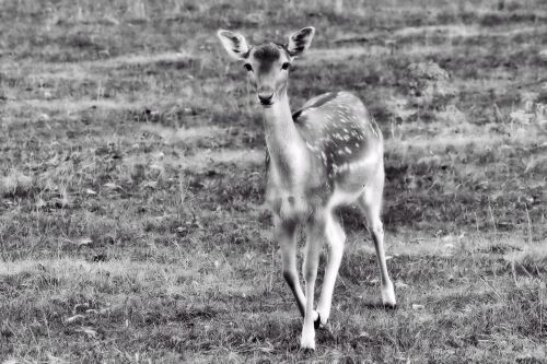 roe deer fawn young deer