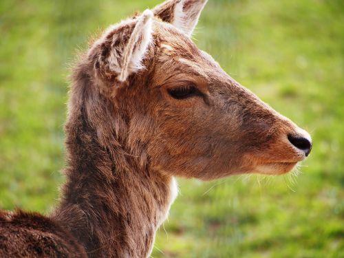 roe deer ungulate close