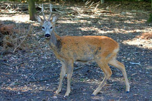 roe deer forest scheu