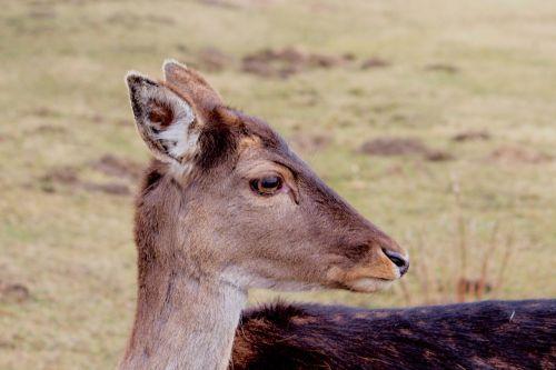 roe deer fallow deer nature