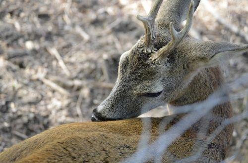 roe deer hirsch antler
