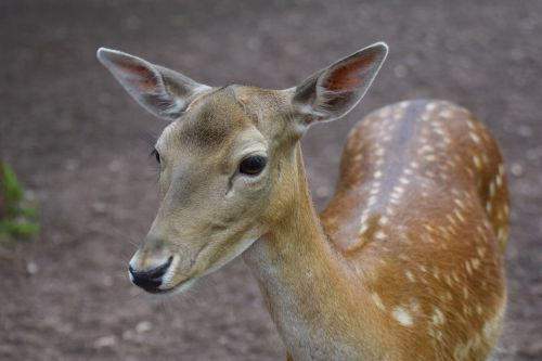 roe deer animals forest