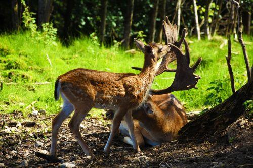 roe deer hirsch wild