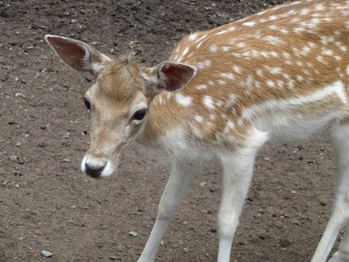roe deer bambi curious