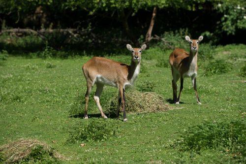 roe deer meadow wild