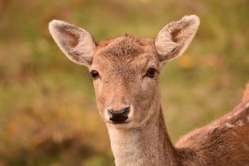 roe deer fallow deer damtier