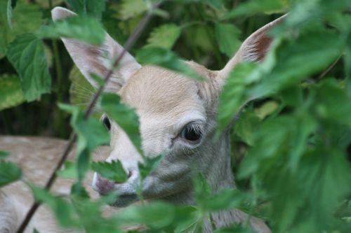 roe deer hirsch fawn