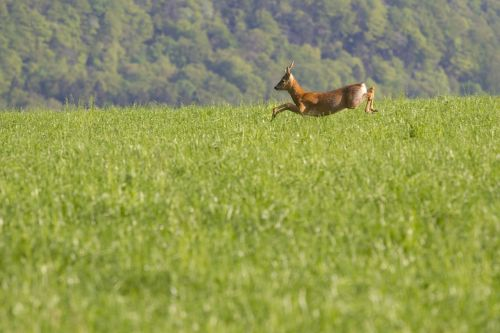 roe deer wild animal nature