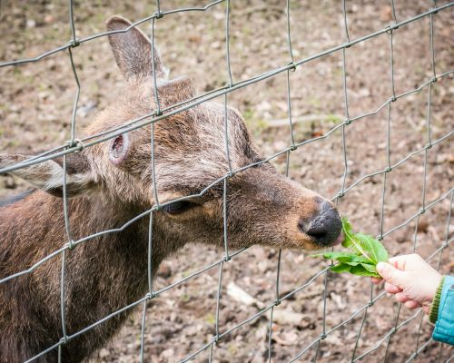roe deer feed eat