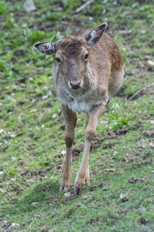 roe deer forest fallow deer