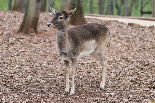 roe deer forest nature