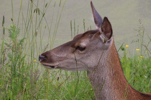 roe deer deer wildlife