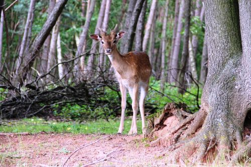 roe deer forest nature