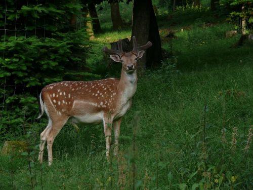 roe deer forest grass