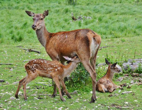 roe deer kitz wild