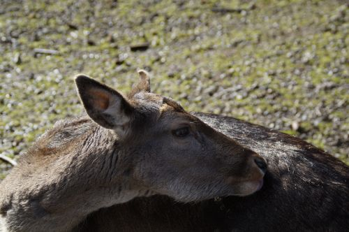 roe deer ricke animal