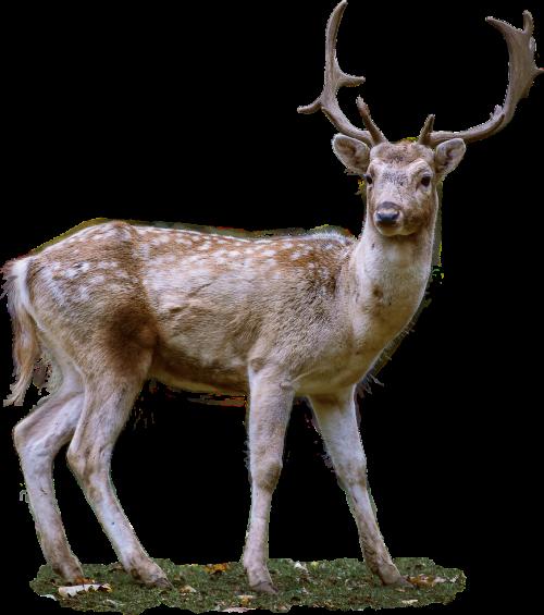 roe deer antler fallow deer