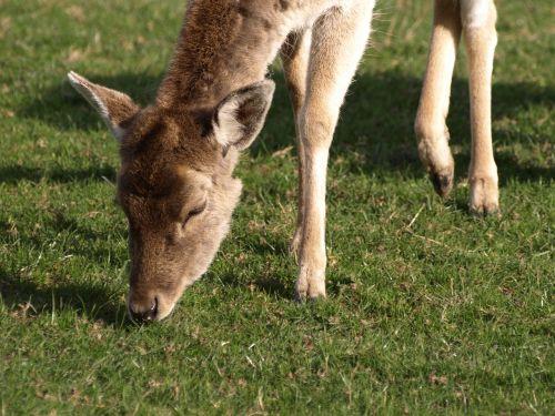 roe deer graze wild