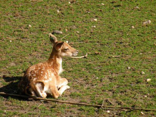 roe deer kitz bambi