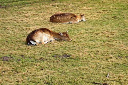 roe deer fawn roe deer fawn