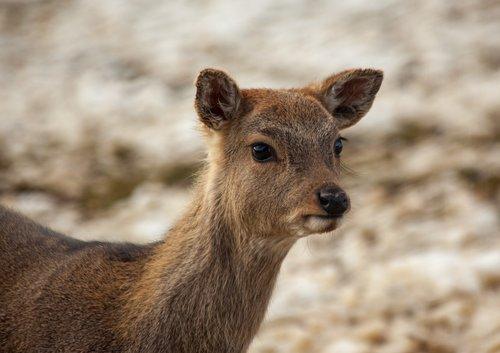 roe deer  fawn  wildlife