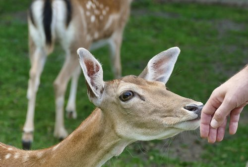 roe deer  fawn  kitz