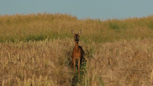 roe deer  deer in the cornfield  grain