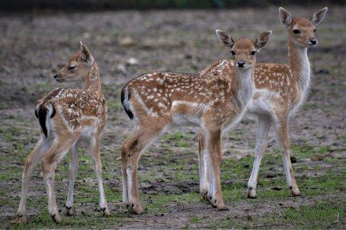 roe deer  deer  fawn