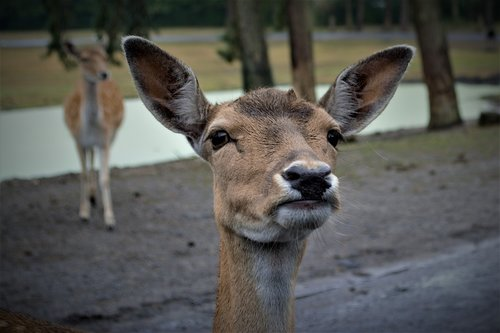 roe deer  curious  head