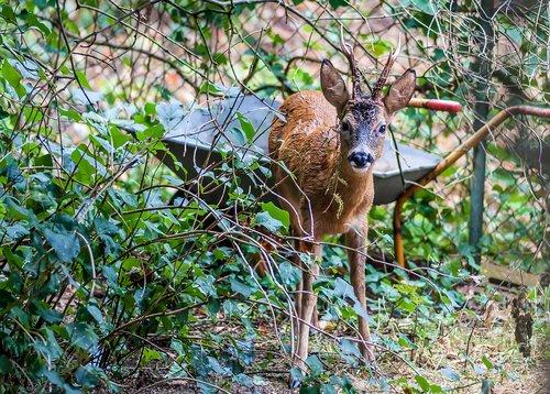 roe deer  nature  scheu