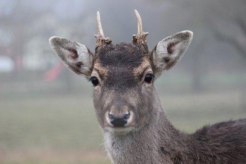 roe deer  fallow deer  antler