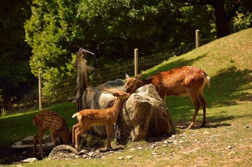 roe deer  wild  animal