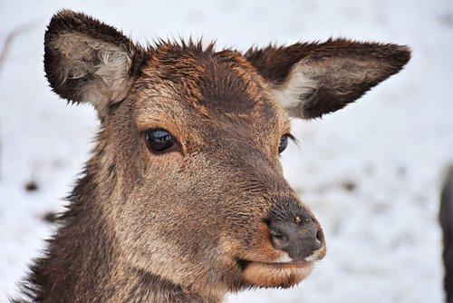 roe deer  wild  deer park