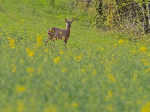 roe deer  wild animal  freilebend