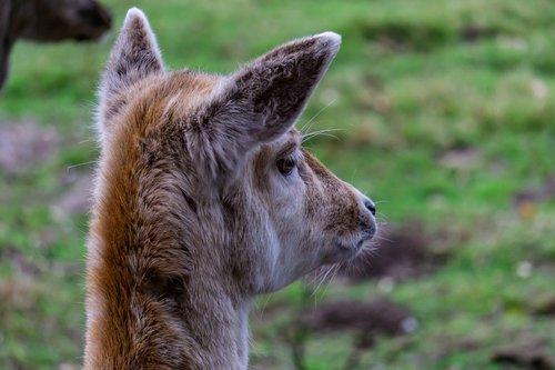 roe deer  animal  forest